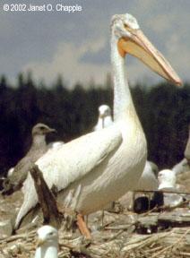 White pelican and California gulls