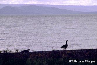 Canada geese at Yellowstone Lake