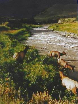 elk crossing river