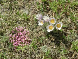 moss campion and pasque flower