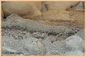 Shell Spring geyserite