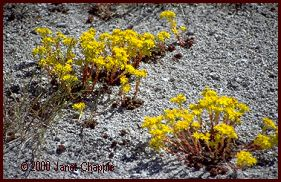 lance-leaved stonecrop