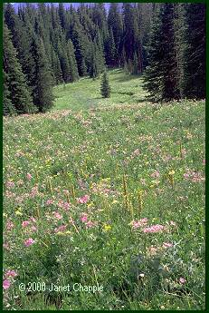 Beartooth meadow flowers