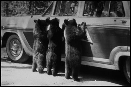 three black bear cubs