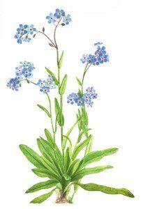 Mary Vaux Wolcott watercolor of flower