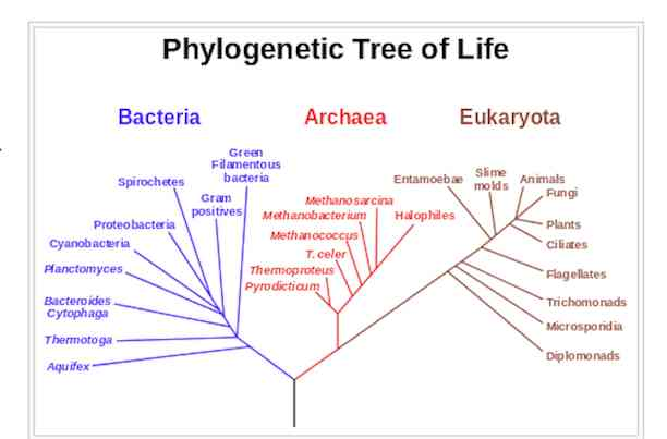 phylogenetic tree of life diagram