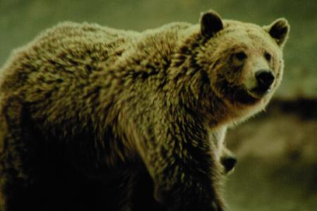 Grizzly bear from page 344 of Yellowstone Treasures, 4th ed.