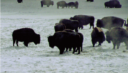 "Bison herd in winter, by Bruno Giletti, ""Yellowstone Treasures,"" page 343"