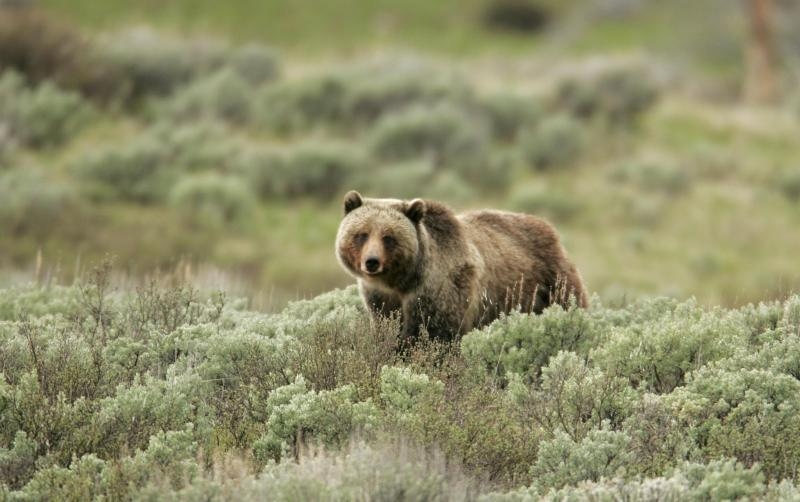 Grizzly bear on Swan Lake Flats, Yellowstone