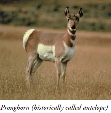 Screen Shot_Pronghorn