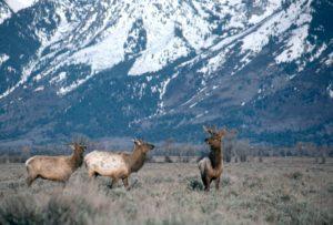 Elk Grand Tetons