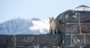 fox north entrance Yellowstone