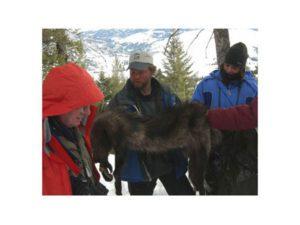 Brad Bulin wolf pelt 2006