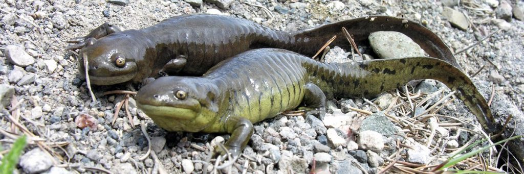 Western Tiger salamanders